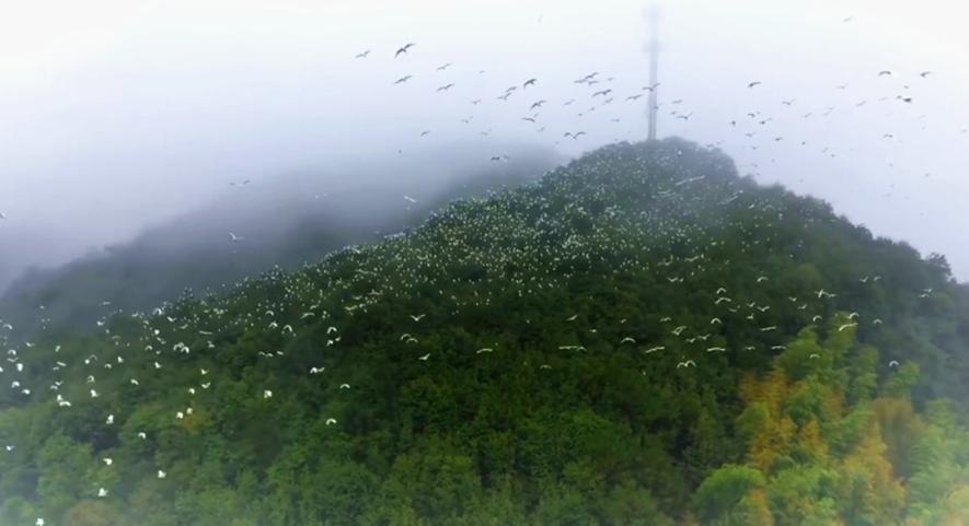 看!万千鹭鸟齐撒欢 纷纷扬扬似雪花